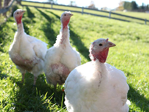 Daisy, Tulip, and Shannon enjoy the good life at Farm Sanctuary. Photo credit: Farm Sanctuary.