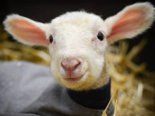 Hazelton was born soon after his mom was rescued and will grow up by her side. Photo credit: Farm Sanctuary